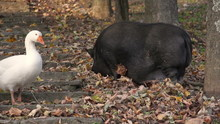 Fat Black Pig Pet Pasturing Searching Food A Goose Walking By