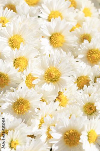 Obraz na plátně 菊のブーケ