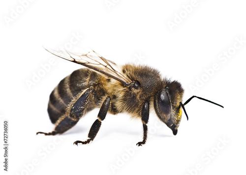 Recess Fitting Bee abeja sobre fondo blanco