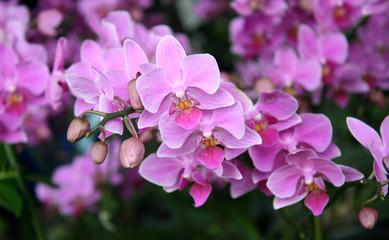 FototapetaBeautiful purple orchid - phalaenopsis