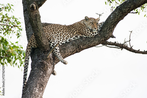 Poster Leopard A large wild Leopard resting in a large Marula tree