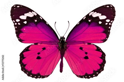 Fotografie, Obraz  pink butterfly