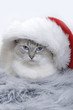ragdoll cat wearing a santa hat