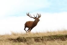 Male Red Deer Running Wild