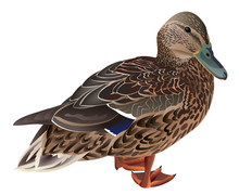 Wild Duck Female Isolated