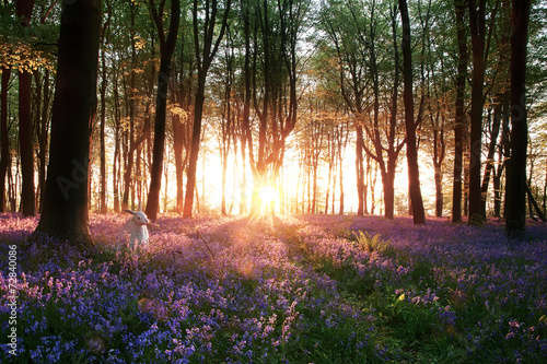 Bluebells and white rabbit sunrise