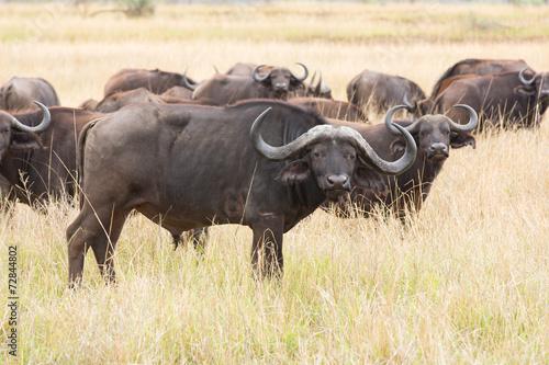 Staande foto Buffel african buffalo herd