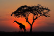canvas print picture - Silhouetted tree and giraffe against a red sunset