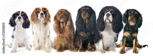 Photo six cavalier king charles