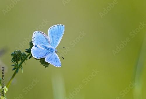 Fototapety, obrazy: papillon azuré