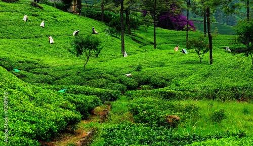 Fields of tea. Plantation in Sri Lanka. © itsmejust