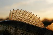 Dorsal Fin Of A Walleye (pike-...
