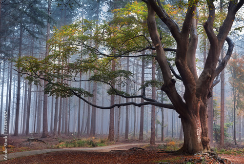 Wall Murals Bestsellers big beech tree in foggy forest