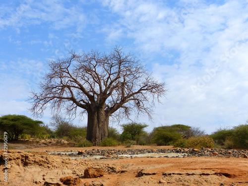 Keuken foto achterwand Baobab Affenbrotbaum ausgetrockneten Flussbett Barai Tansania