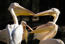 Group Of Pelicans With Open Beaks Having A Heated Conversation