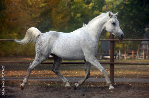 Photo  Grey arabian horse runs gallop