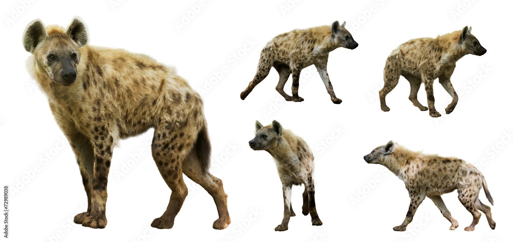 Fototapeta Set of  hyenas. Isolated  over white background