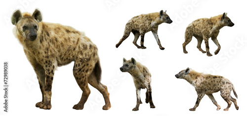 Leinwand Poster Set of  hyenas. Isolated  over white background
