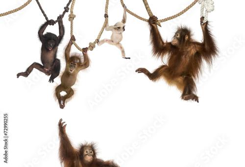 Foto op Aluminium Aap Young Orangutan, young Pileated Gibbon and young Bonobo hanging