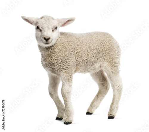 Tuinposter Schapen Lamb (8 weeks old) isolated on white