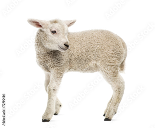 Spoed Fotobehang Schapen Lamb (8 weeks old) isolated on white