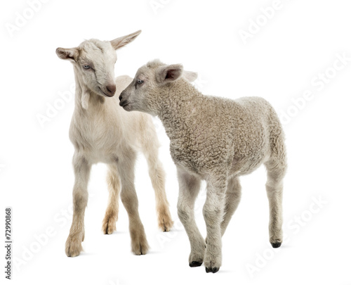 Stampa su Tela Lamb and goat kid (8 weeks old) isolated on white