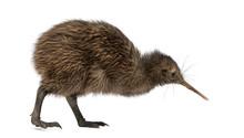 North Island Brown Kiwi, Apteryx Mantelli, 3 Months Old
