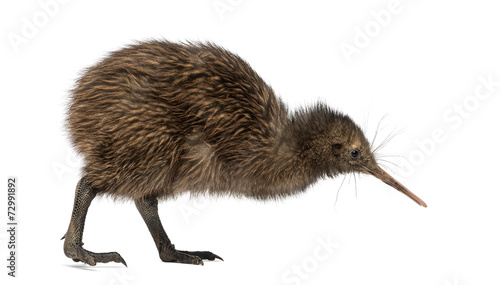 Fotografia, Obraz  North Island Brown Kiwi, Apteryx mantelli, 3 months old