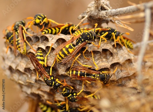 Fényképezés Swarm of wasps around the nest