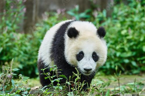 Stickers pour portes Panda Panda bear cub playing Sichuan China