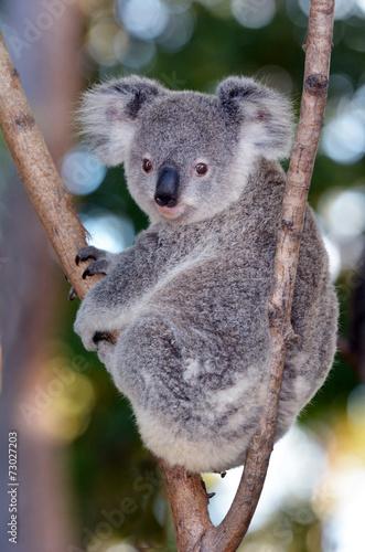 Garden Poster Koala Baby Cube Koala - Joey