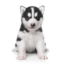 Cute Little Husky Puppy Isolat...