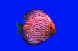 canvas print picture - Pompadour Fish