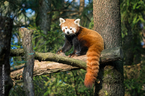 Fotomural Red panda