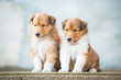 Two rough collie puppies sitting on the stairs