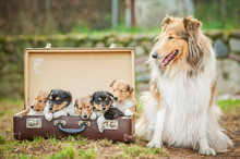 Rough Collie Dog With Little Puppies Sitting In The Suitcase