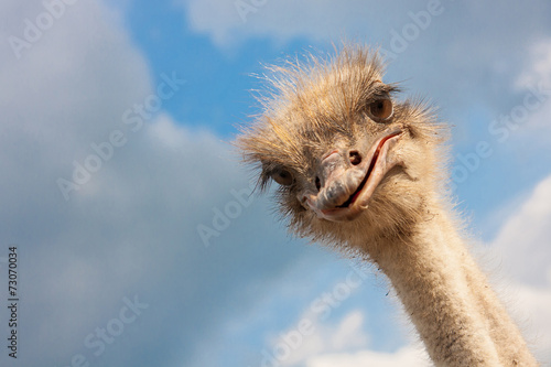 Staande foto Struisvogel Ostrich head closeup outdoors