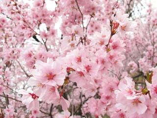 Fototapeta Optyczne powiększenie 桜