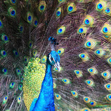Fototapeta Animals - Textures and colors of the peacock