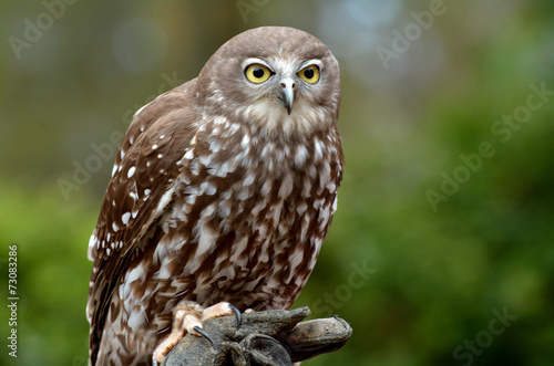 Fotografie, Obraz  Australian Barking Owl