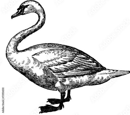 Fotografie, Obraz  Vintage image bird swan