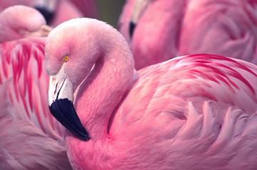 Čileanski ružičasti flamingo