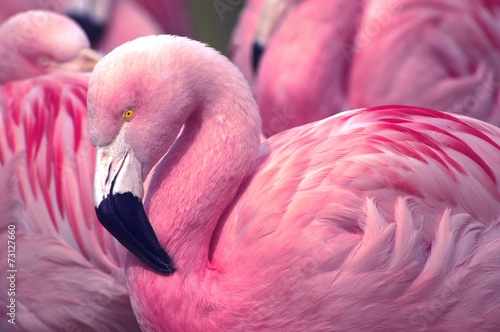 Deurstickers Flamingo Chilean Pink Flamingo