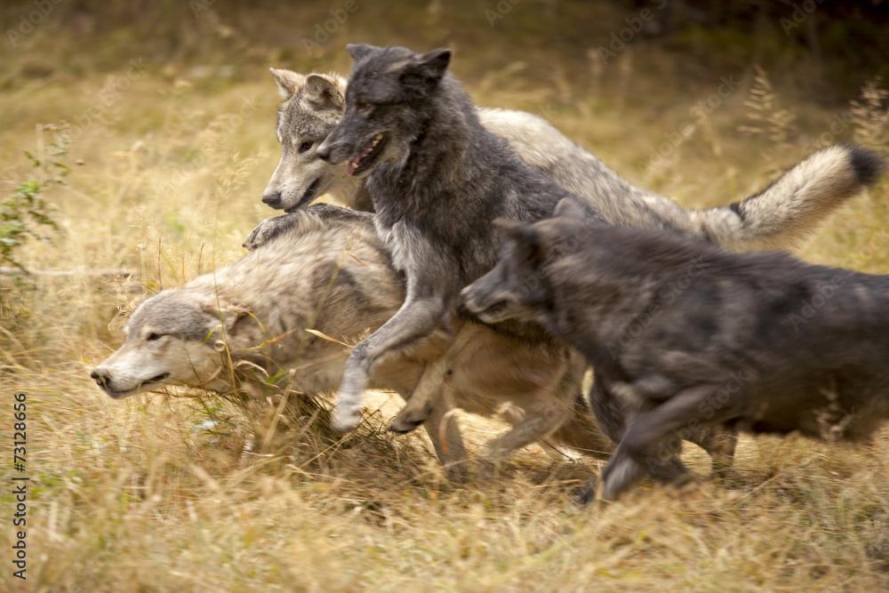 Fotografía Gris manada de lobos en el juego | Europosters.es