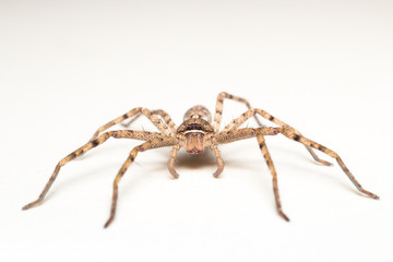 brown spider isolated on white background close-up
