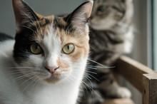 Calico Cat Sitting On Wood Shelf