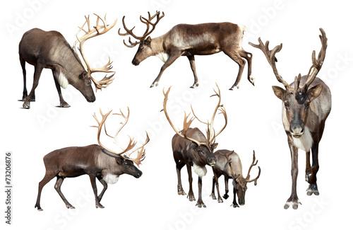 Set of few reindeer Fototapet