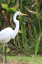 American White Ibis - Fairchil...