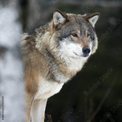 Photo  Wolf in the cold winter