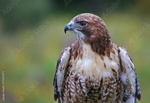 Photo  Red-tailed Hawk Profile